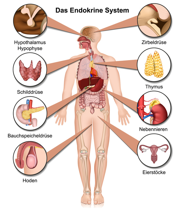 Anatomie - endocrinology.guide