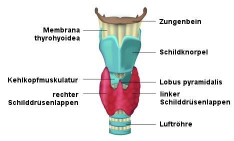 Schilddrüse | Anatomie und Funktion im Menschen